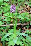 i:многолетние,s:травянистые,b:прямостоячий,соцветия - кисть,соцветия - колос,c:пурпурные,лепестков 6,d:на опушках,d:на опушках и полянах