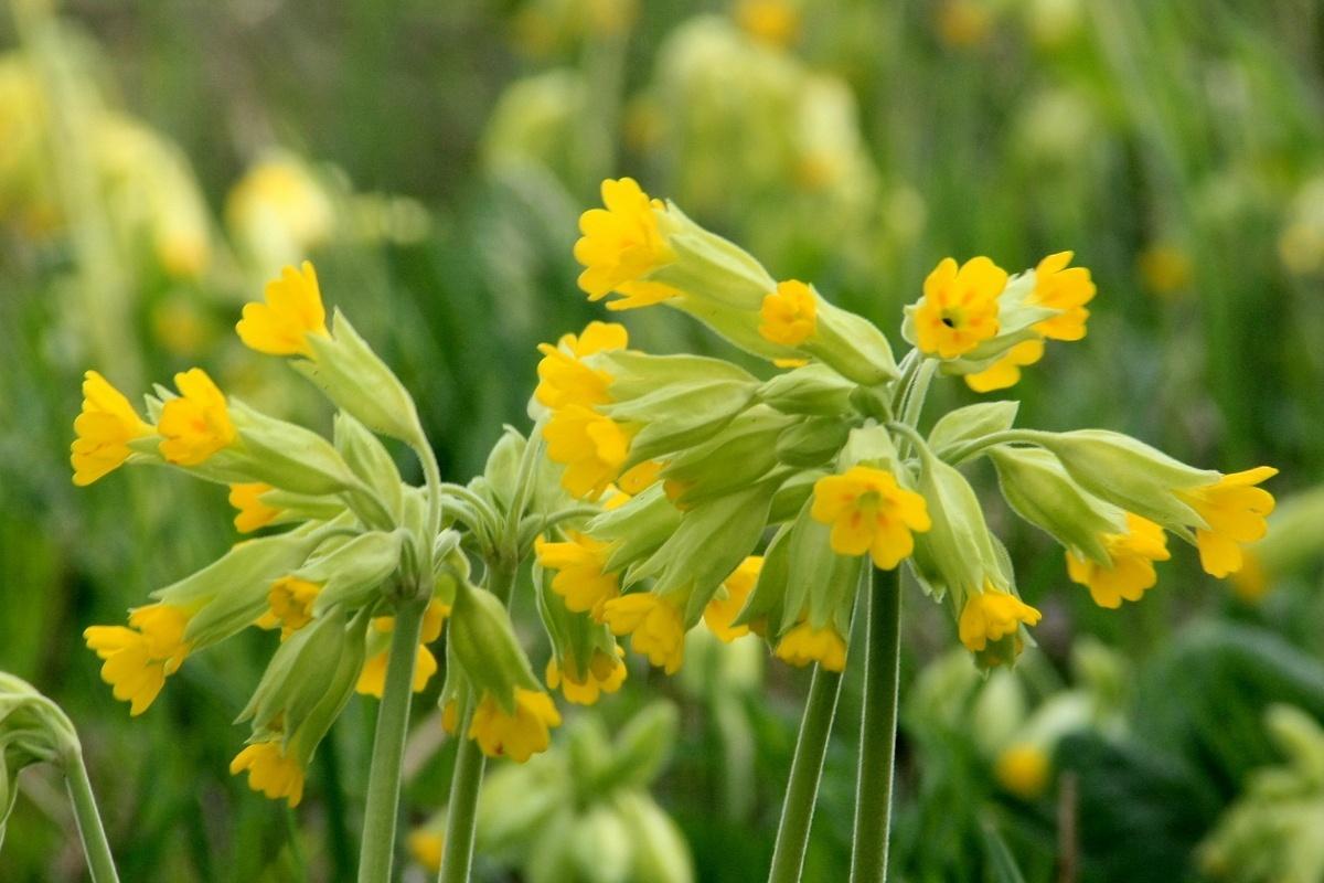 Первоцве́т весе́нний, или Первоцве́т лека́рственны (Primula veris). Автор фото: Йохан Метте