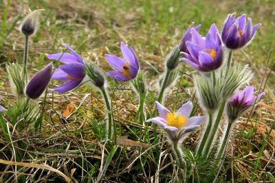 Сoн-трава; прoстрел (Pulsatilla vulgaris) Автор фото: Йохан Метте