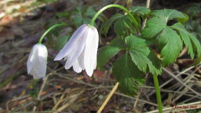 Ветреничка алтайская (Anemonoides altaica) Автор фото: Кром Игорь