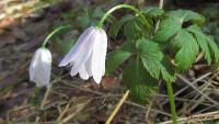 Ветреничка алтайская (Anemonoides altaica)