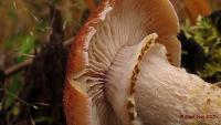 Опёнок северный (Armillaria borealis)