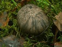Болетопсис бело-чёрный (Boletopsis leucomelaena)