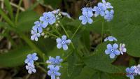 s:травянистые,c:синие,c:голубые,c:фиолетовые или лиловые,c:1-2 см,лепестков 5,околоцветник актиноморфный,i:редкие и охраняемые,i:культивируемые,i:декоративные,f:орешек,f:многоорешек,соцветия - кисть,соцветия - метелки
