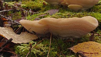 Климакоцистис северный (Climacocystis borealis). Автор фото: Кром Игорь