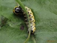 Род Капюшонница, Cucullia sp
