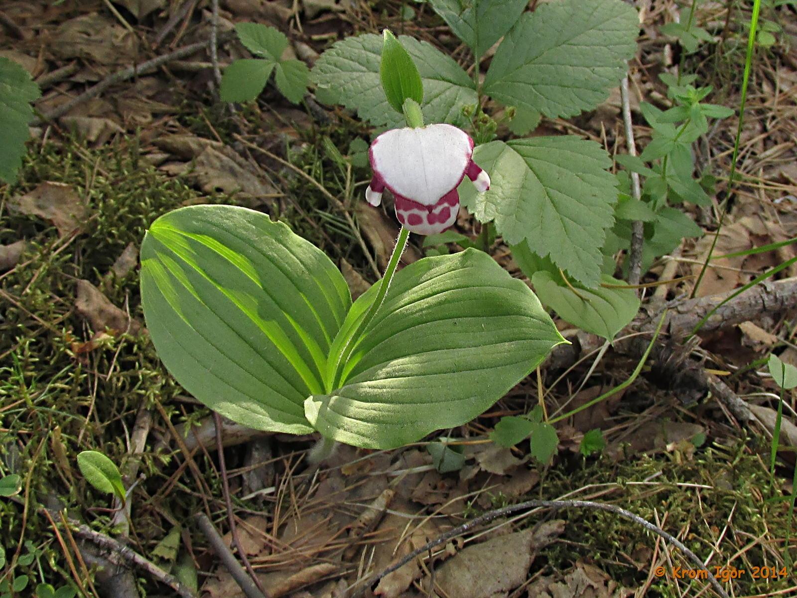 Венерин башмачок капельный (Cypripedium guttatum). Автор фото: Кром Игорь