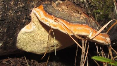 Трутовик окаймлённый (Fomitopsis pinicola) Автор: Кром Игорь