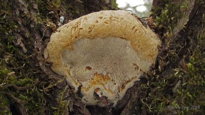 Гаплопорус пахучий (Haploporus odorus) В развилке <span class=wiki>ствола</span> засыхающей ивы Автор фото: Кром Игорь