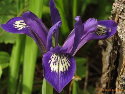 Касатик русский (Iris ruthenica). Автор фото: Кром Игорь