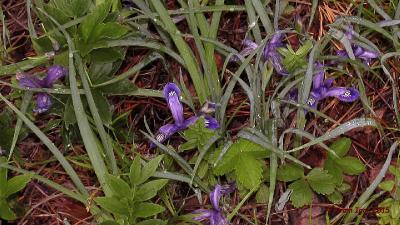 Касатик русский (Iris ruthenica) Автор фото: Кром Игорь
