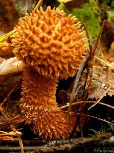Leucopholiota lignicola, Лейкофолиота древесинная. Автор фото: Кром Игорь