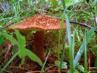 Один из самых красивых грибов в нашем лесу. Редкий вид, занесённый в Красные книги России и Красноярского края  Автор фото: Кром Игорь