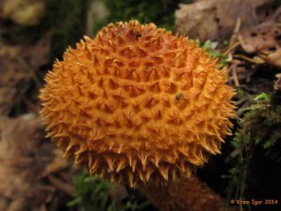 Лейкофолиота древесинная (Leucopholiota lignicola) Автор фото: Кром Игорь