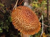 Leucopholiota