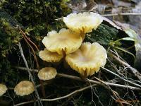 Омфалина пустошная (Lichenomphalia umbellifera)