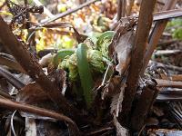 Страусник обыкновенный (Matteuccia struthiopteris)