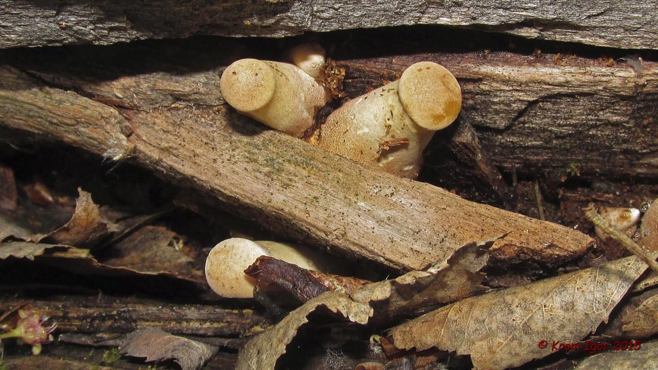 Пилолистник бокаловидный (Neolentinus cyathiformis). Автор фото: Кром Игорь
