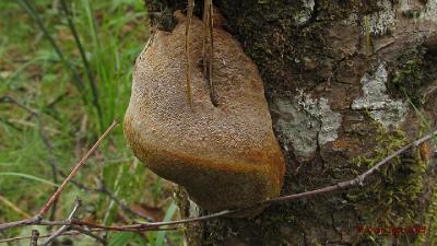 Трутовик Гартига (Phellinus hartigii). Автор фото: Кром Игорь