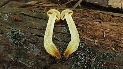 Чешуйчатка золотистая (Pholiota aurivella) Автор фото: Кром Игорь
