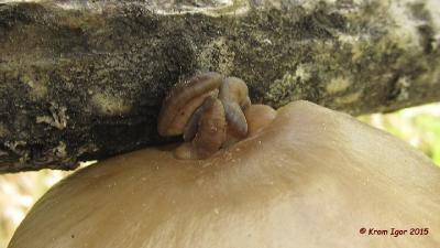 Вешенка покрытая (Pleurotus calyptratus) Автор фото: Кром Игорь
