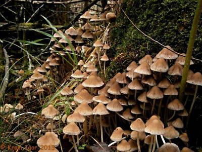 Psathyrella multipedata, Псатирелла многоножковая. Автор фото: Кром Игорь