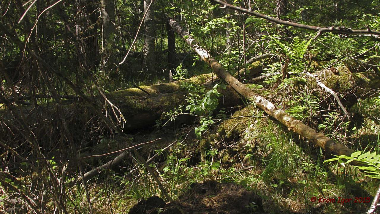 Строчевик круглоспоровый (Pseudorhizina sphaerospora). Автор фото: Кром Игорь