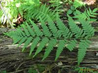 Орляк сосняковый (Pteridium pinetorum)