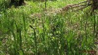 Орляк сосняковый (Pteridium pinetorum)