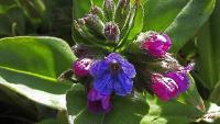 s:травянистые,b:прямостоячий,l:по длине стебля,l:опушенные,соцветия - завитки,околоцветник сростнолепестный,околоцветник актиноморфный,c:до 1 см,c:1-2 см,c:белые,c:красные,c:розовые,c:фиолетовые,c:синие,f:орешек,d:в кустарниках,d:на каменистых склонах,i:редкие и охраняемые,i:декоративные,i:культивируемые,i:многолетние