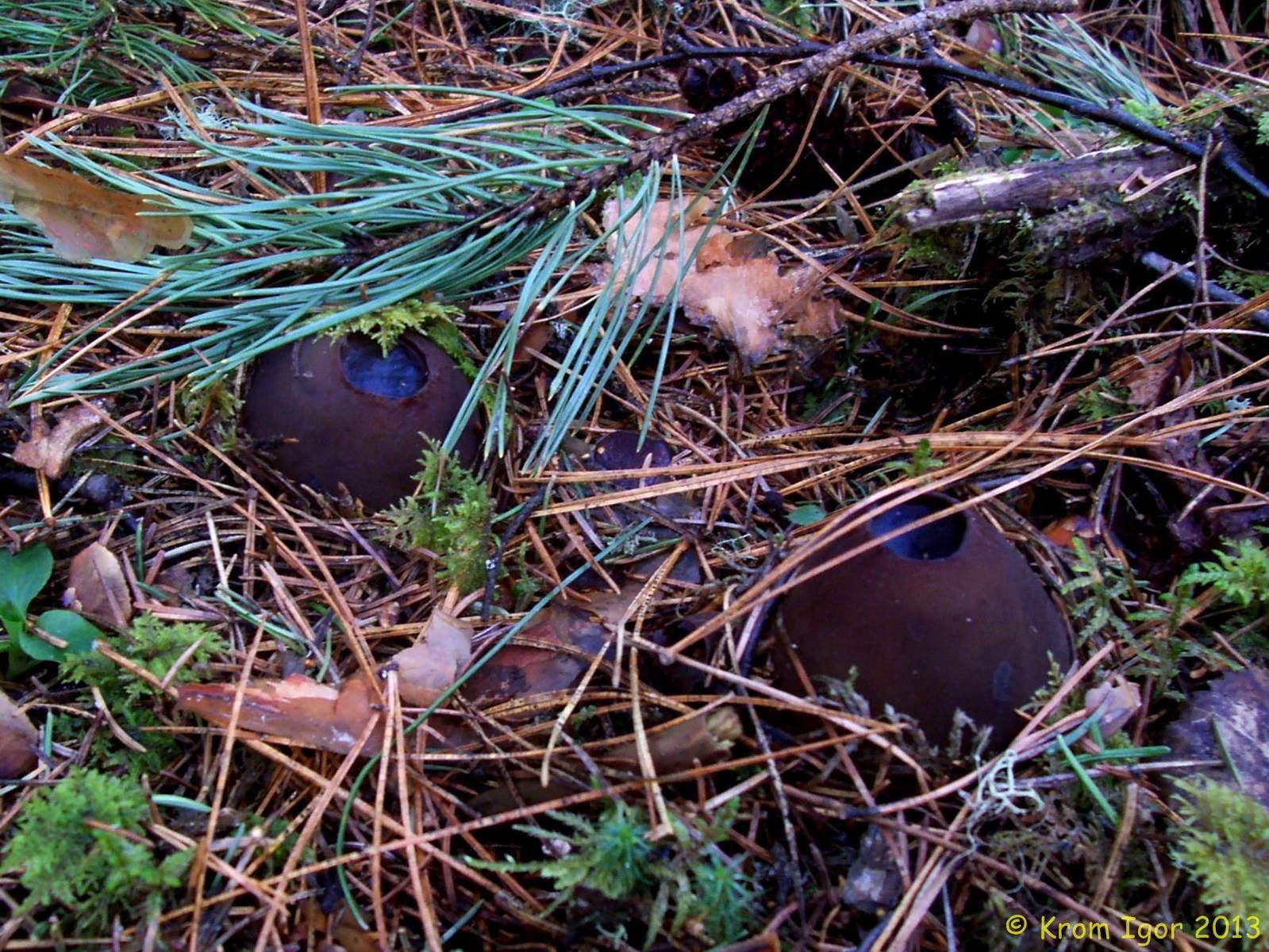 Саркосома шаровидная, Sarcosoma globosum. Автор фото: Кром Игорь