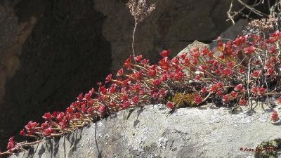 Очиток гибридный (Sedum hybridum) Автор: Кром Игорь