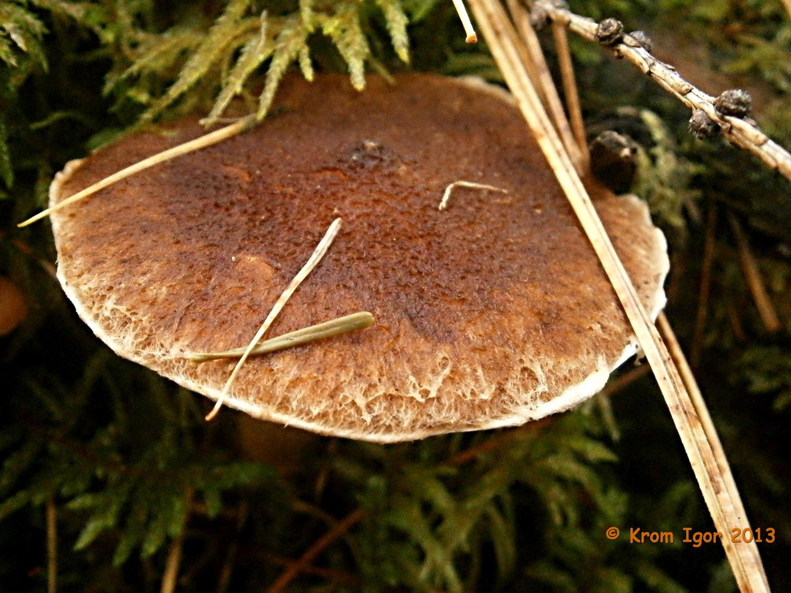 Suillus cavipes, Маслёнок полоножковый. Автор фото: Кром Игорь