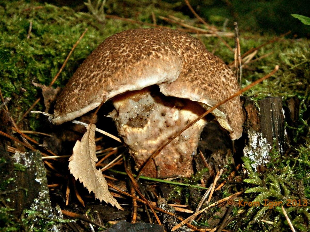 Suillus pictus, Маслёнок раскрашеный. Автор фото: Кром Игорь