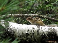 Бурундук сибирский (Tamias sibiricus)