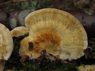 Из колонии грибов на валежной осине. Имеет отчётливый кисловато-анисовый запах. Автор фото: Кром Игорь