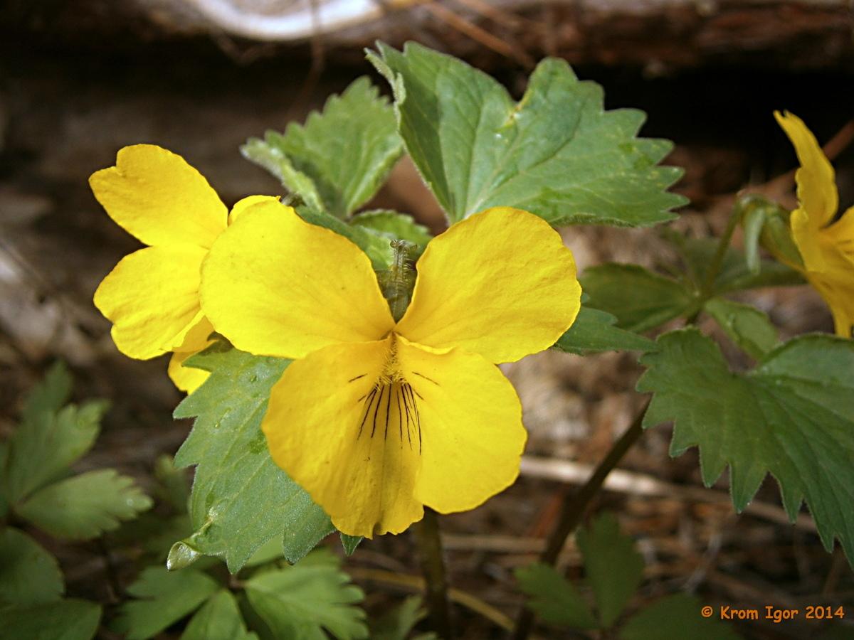 Фиалка одноцветковая (Viola uniflora). Автор фото: Кром Игорь