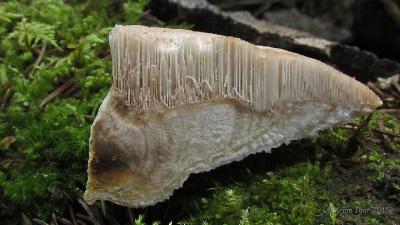 Аурантипорус расщепляющийся (Aurantiporus fissilis) На толстом осиновом бревне Автор фото: Кром Игорь