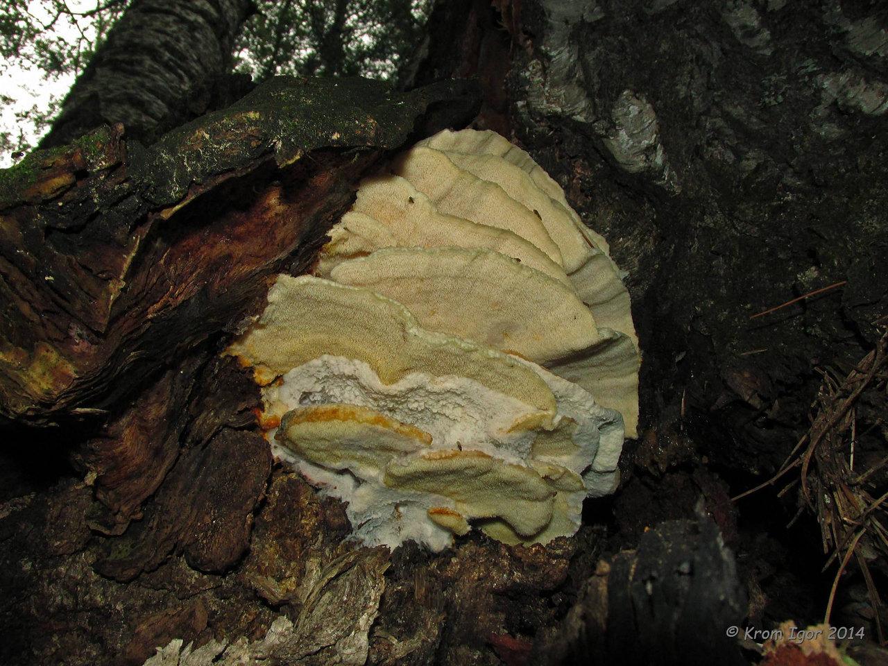 Климакодон северный (Climacodon septentrionalis) Автор фото: Кром Игорь
