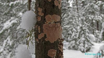Конец декабря. На сухостойной иве.   Определено по сочетанию макро- и микропризнаков. Автор фото: Кром Игорь