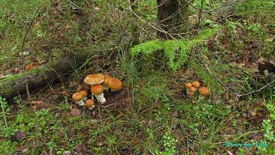 Высокий северный берег р. Табрат. Смешанный лес с преобладанием пихты, сосны и берёзы.  Автор фото: Кром Игорь