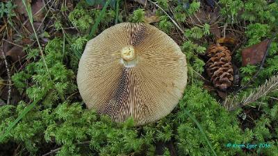 Паутинник светлоокрашенный (Cortinarius claricolor)  Автор фото: Кром Игорь
