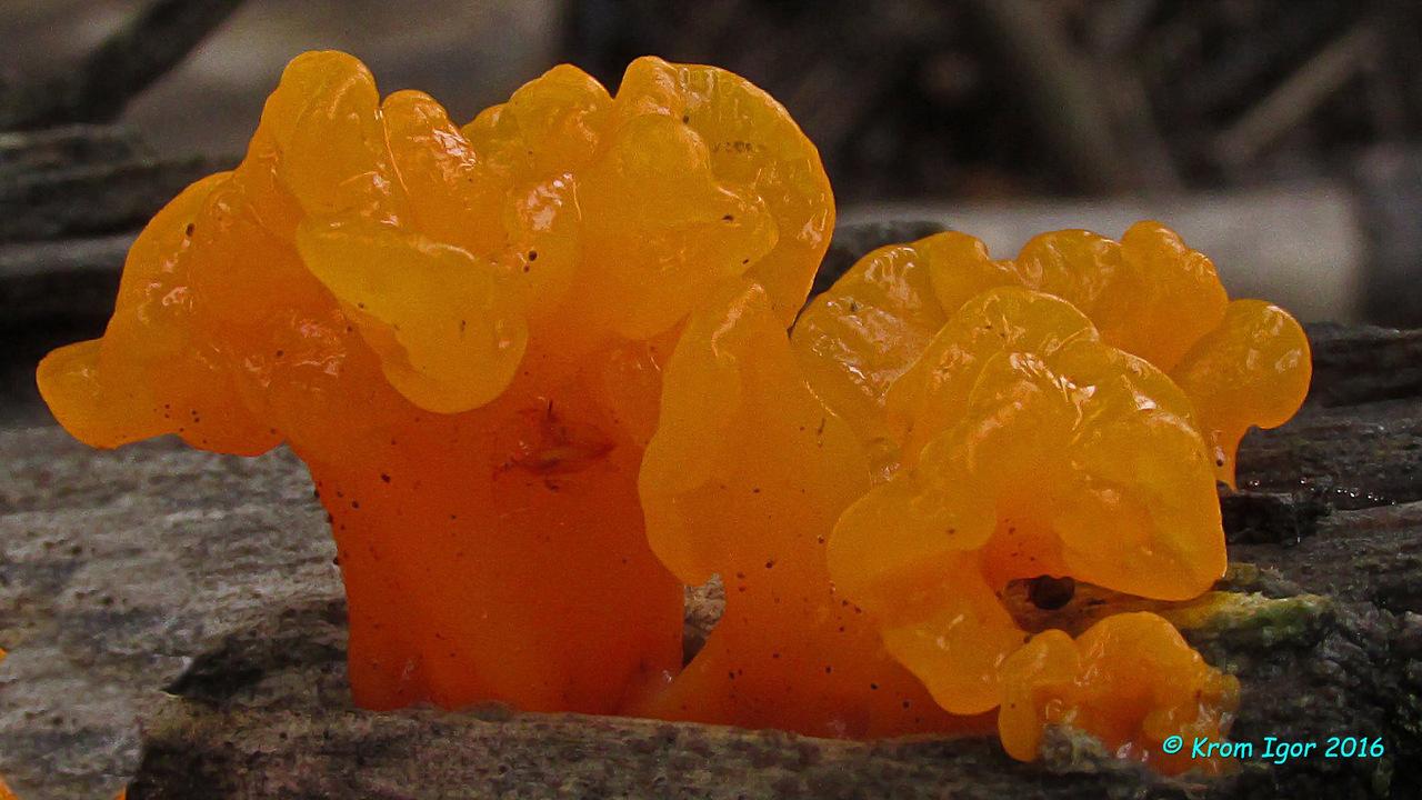Дакримицес пальчатый (Dacrymyces palmatus) Автор фото: Кром Игорь