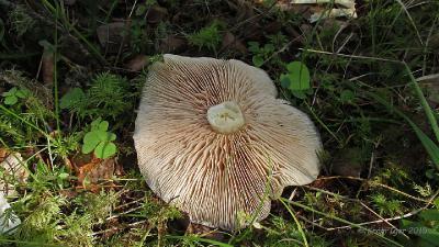 Энтолома бледноплодная (Entoloma pallidocarpum) Автор фото: Кром Игорь