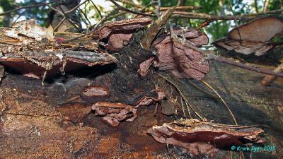 Старые плодовые тела на разлагающемся хвойном бревне неопределённой породы Автор фото: Кром Игорь