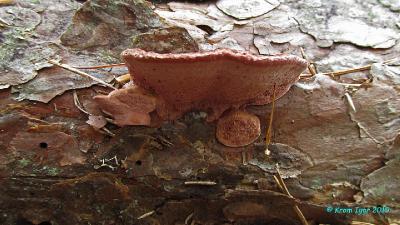 Молодые плодовые тела на валеже сосны и ели Автор фото: Кром Игорь
