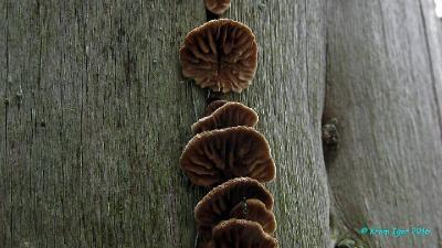 Мелкие (до 2 см в наибольшем измерении) плодовые тела, растущие из трещины старого хвойного заборного столба.  Автор фото: Кром Игорь