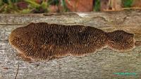 Глеофиллум пихтовый (Gloeophyllum abietinum)