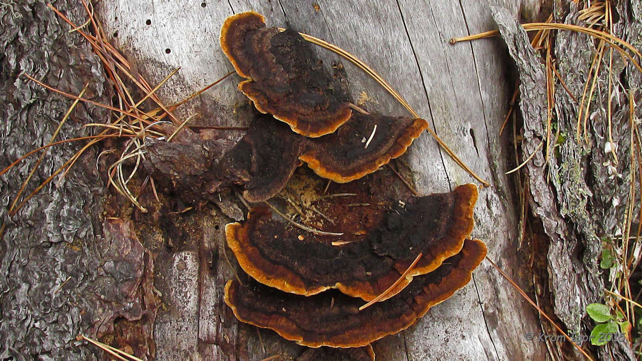 Заборный гриб (Gloeophyllum sepiarium) Автор фото: Кром Игорь