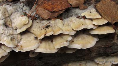 Глеопорус двухцветный (Gloeoporus dichrous) Автор фото: Кром Игорь